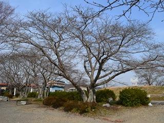 20130307sakura